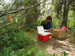 Measuring plant traits in the Yukon